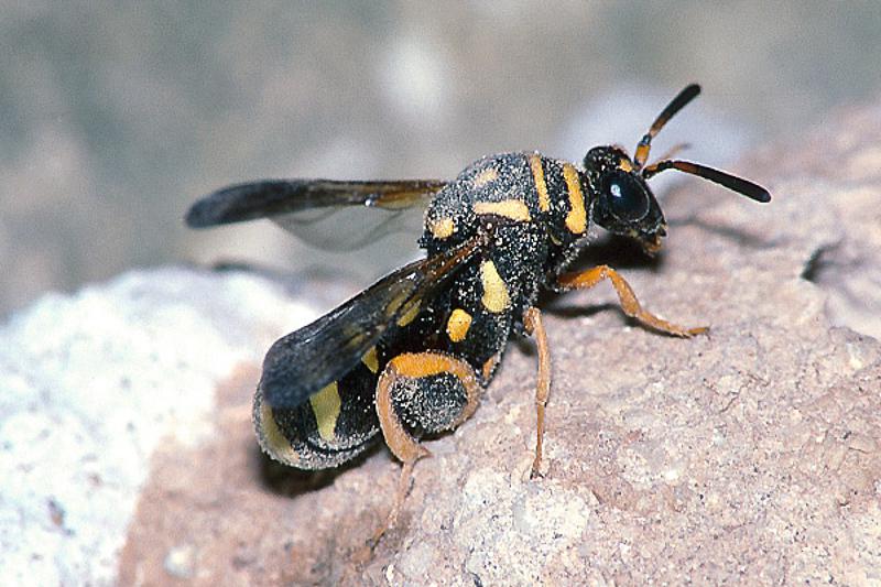 Chalcid wasps : (Leucospidae) Leucospis gigas