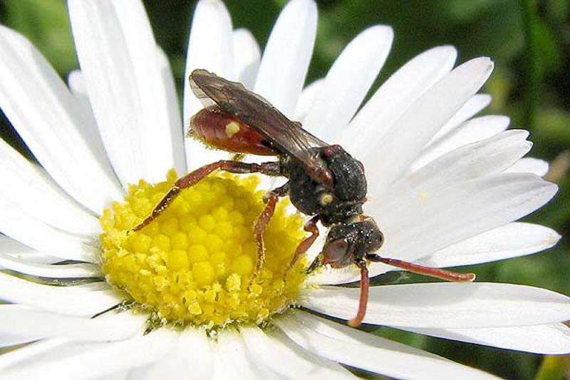Bees : (Apidae) Nomada ferruginata