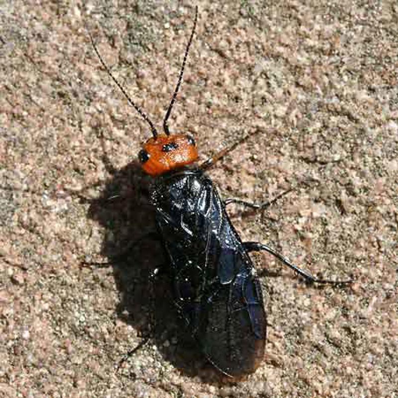 Sawflies and horntails : (Pamphiliidae) Acantholyda erythrocephala