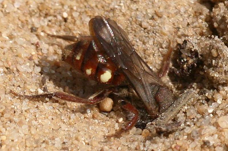 Bees : (Apidae) Nomada alboguttata
