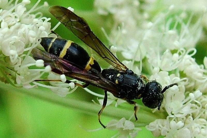 Aculeate Wasps : (Vespidae) Symmorphus bifasciatus