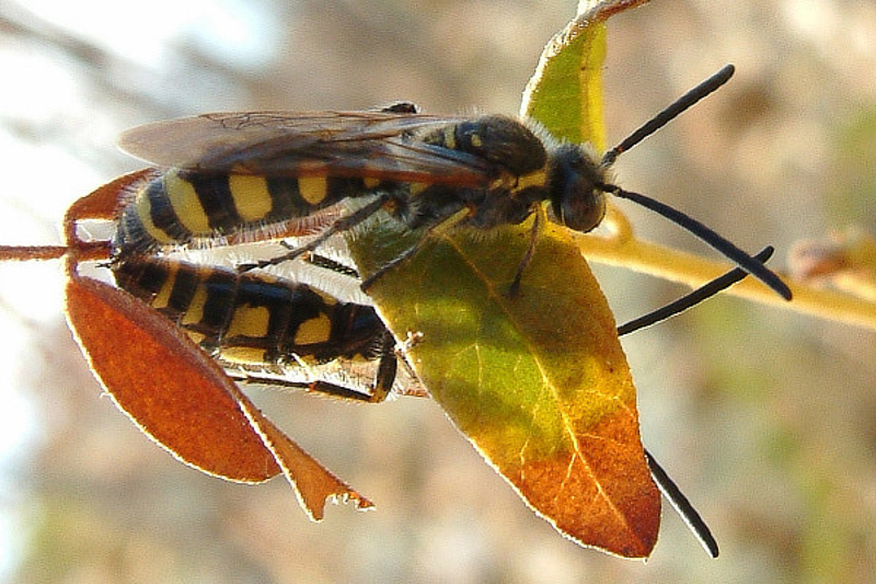Aculeate Wasps : (Scoliidae) Colpa sexmaculata