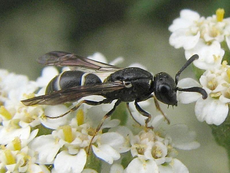 Aculeate Wasps : (Vespidae) Microdynerus exilis