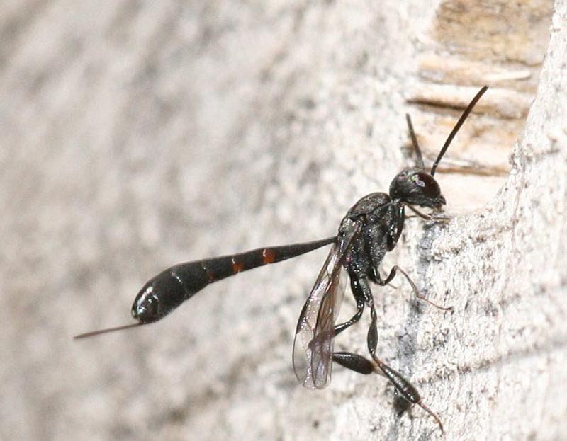 Other parasitoids : (Gasteruptiidae) Gasteruption assectator