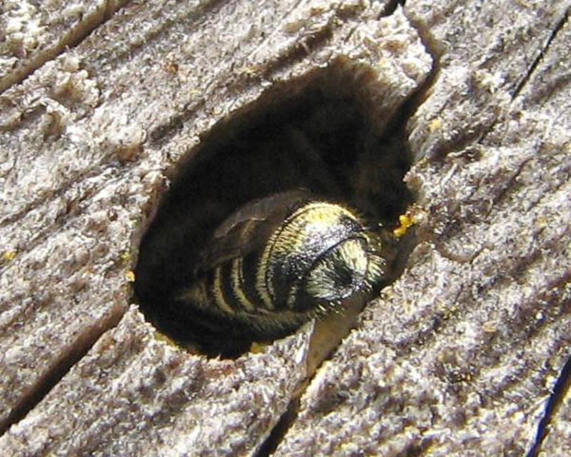 Bees : (Megachilidae) Megachile rotundata
