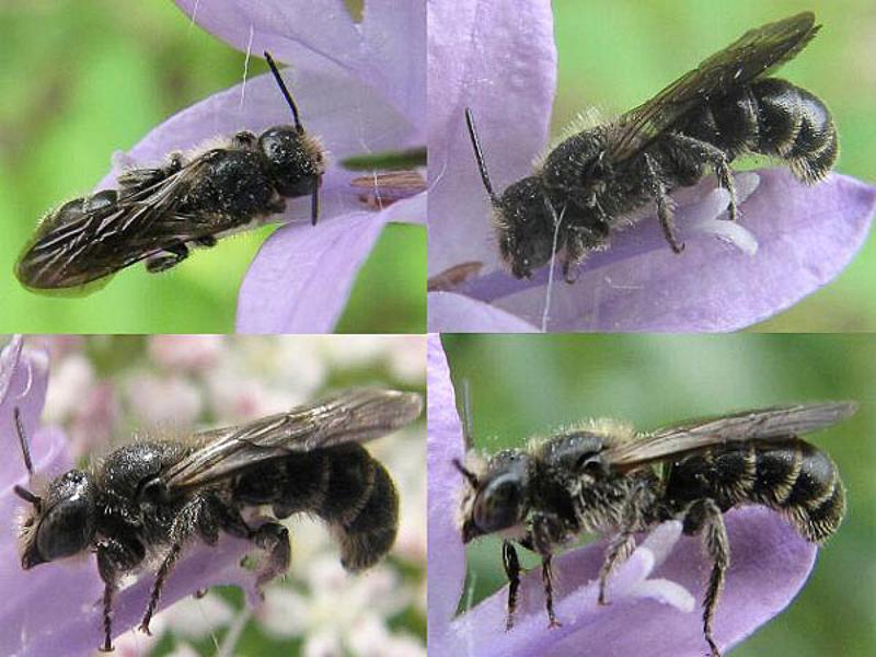 Bees : (Megachilidae) Chelostoma rapunculi