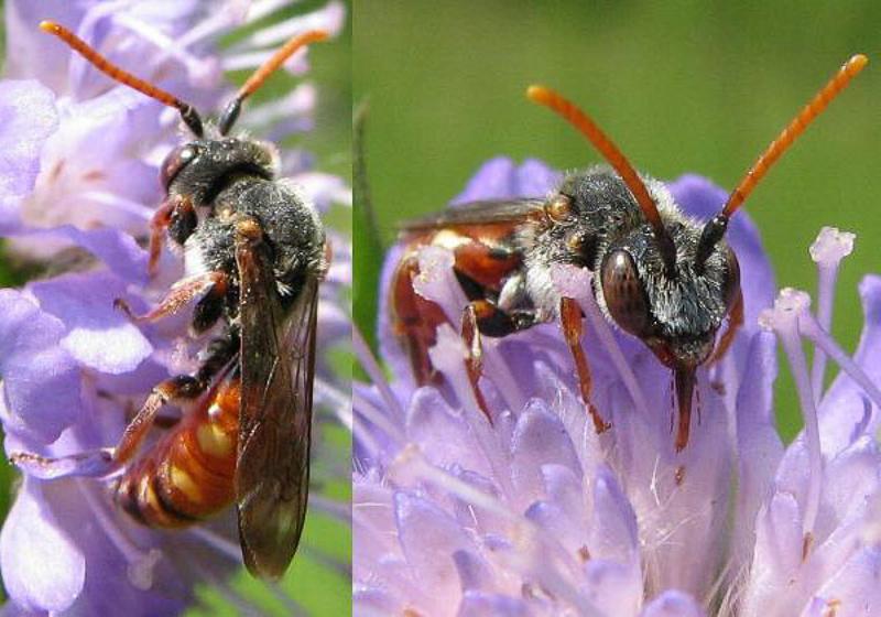 Bees : (Apidae) Nomada armata
