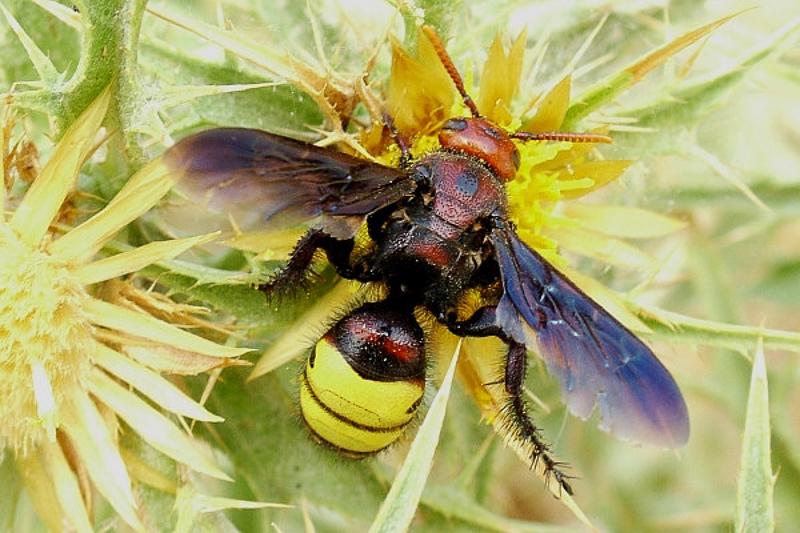 Aculeate Wasps : (Scoliidae) Scolia galbula