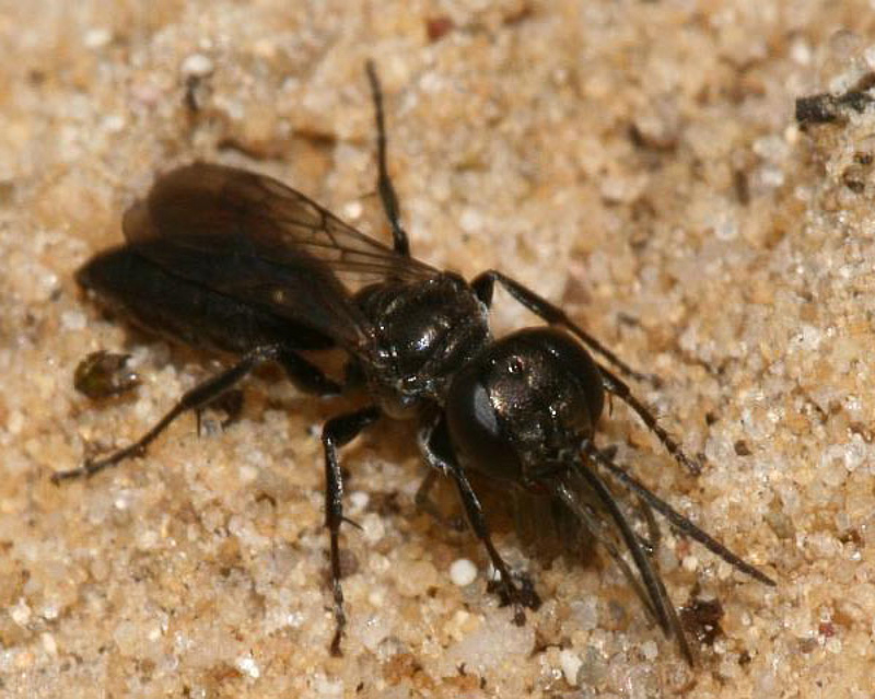 Aculeate Wasps : (Crabronidae) Miscophus ater