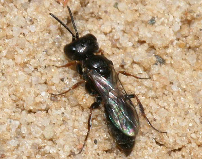 Aculeate Wasps : (Crabronidae) Diodontus minutus