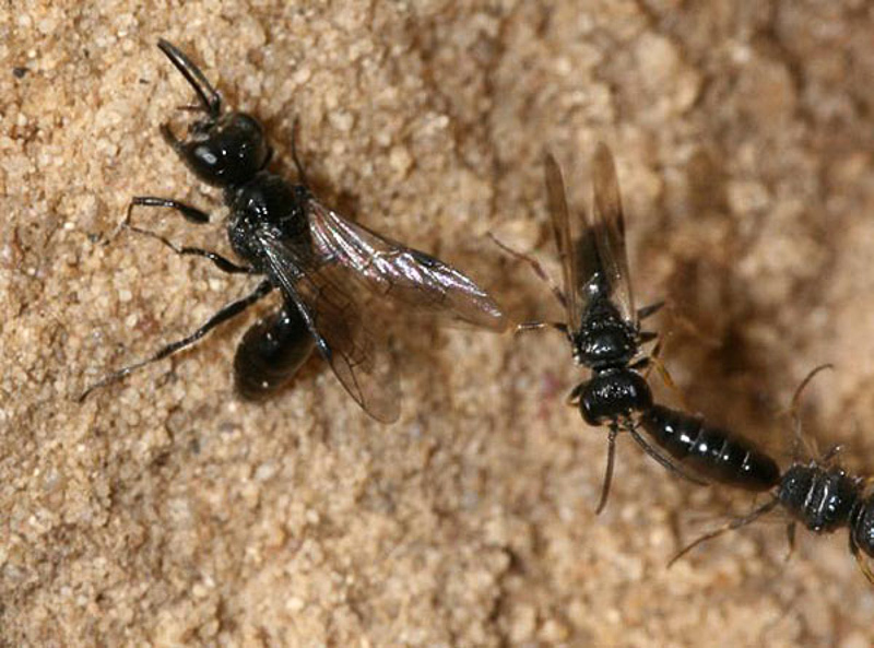 Aculeate Wasps : (Crabronidae) Diodontus tristis