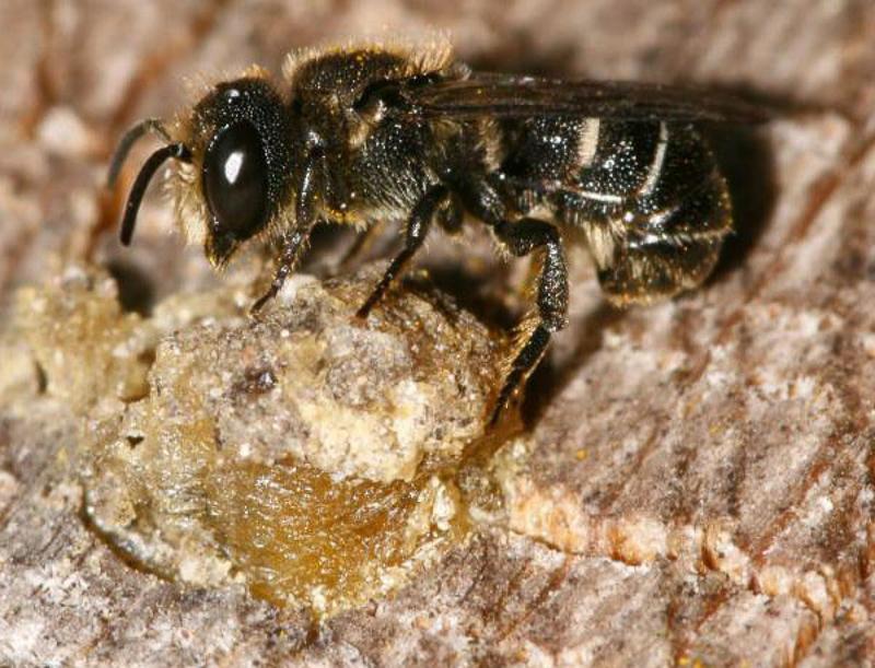 Bees : (Megachilidae) Heriades truncorum