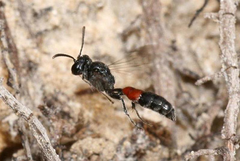 Aculeate Wasps : (Crabronidae) Mimesa lutaria