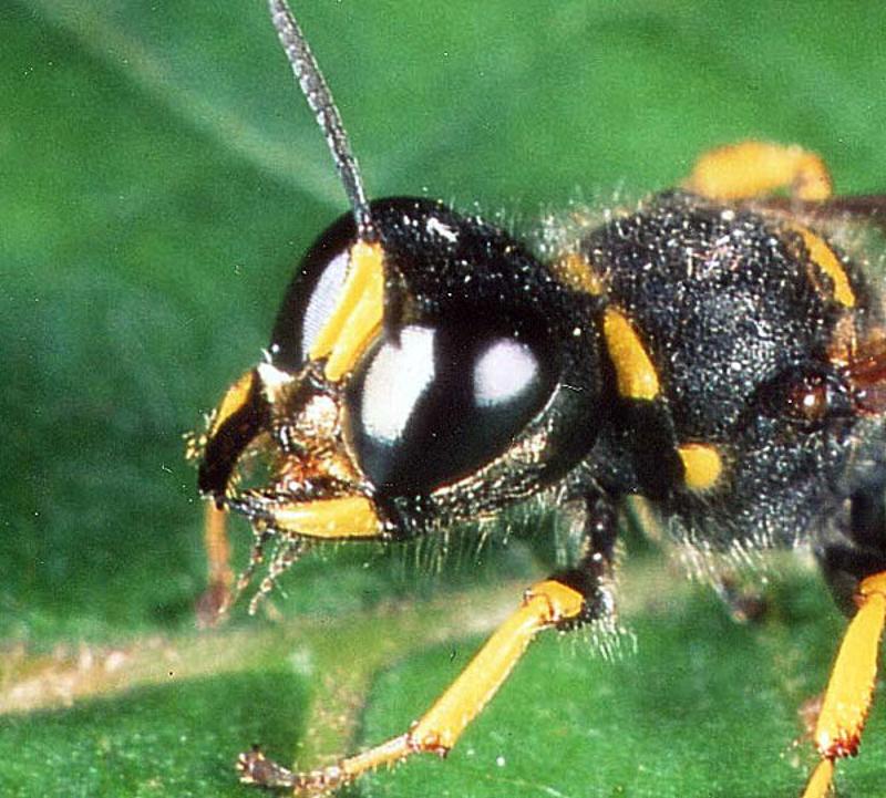 Aculeate Wasps : (Crabronidae) Ectemnius cavifrons