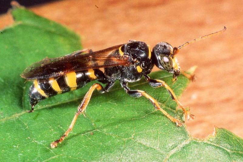 Aculeate Wasps : (Crabronidae) Gorytes laticinctus
