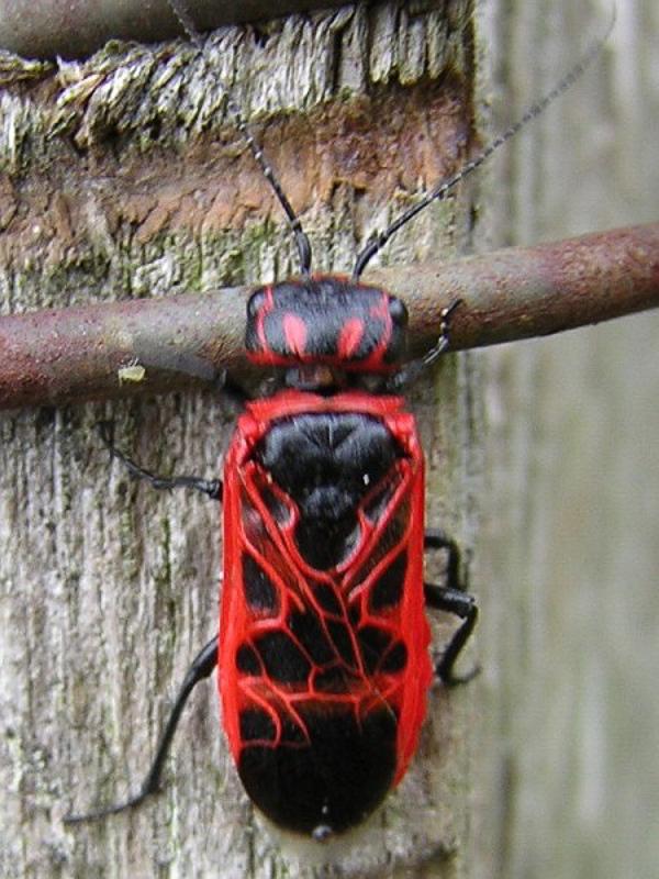 Sawflies and horntails : (Pamphiliidae) Caenolyda reticulata