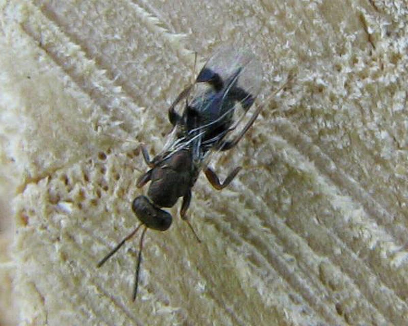 Chalcid wasps : (Pteromalidae) Cheiropachus quadrum