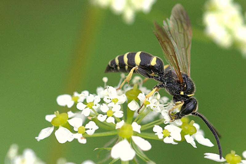 Aculeate Wasps : (Crabronidae) Argogorytes fargeii