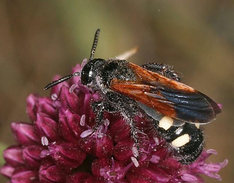 Aculeate Wasps : (Scoliidae) Scolia sexmaculata