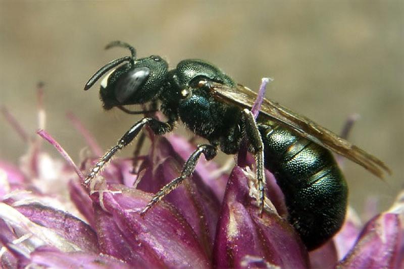Bees : (Apidae) Ceratina chalybea