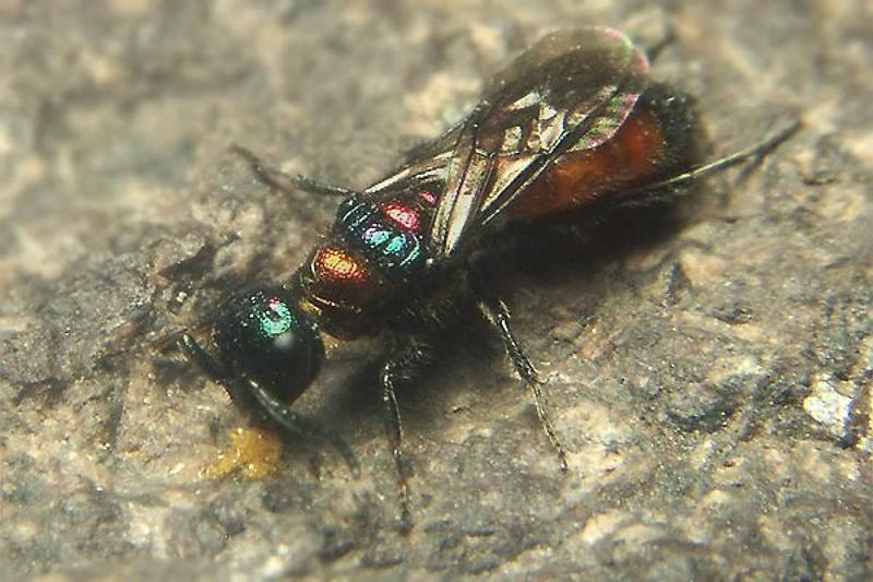 Aculeate Wasps : (Chrysididae) Cleptes splendidus