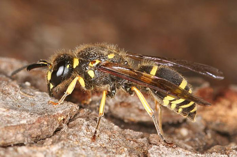 Aculeate Wasps : (Vespidae) Ancistrocerus oviventris