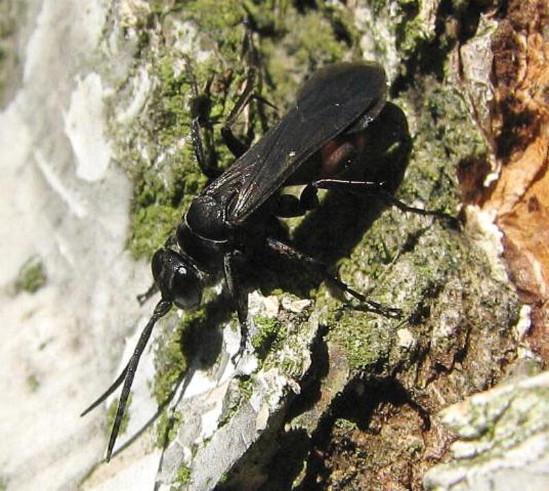 Aculeate Wasps : (Pompilidae) Evagetes siculus