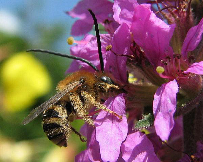 Bees : (Apidae) Tetraloniella salicariae