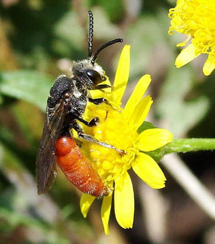 Bees : (Halictidae) Sphecodes albilabris