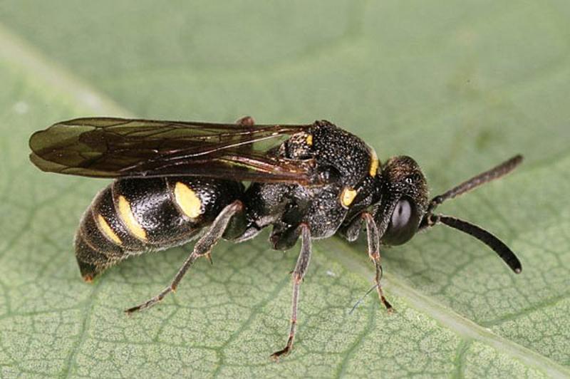 Aculeate Wasps : (Crabronidae) Nysson trimaculatus