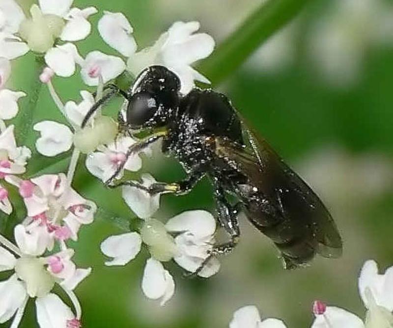 Aculeate Wasps : (Crabronidae) Lindenius albilabris