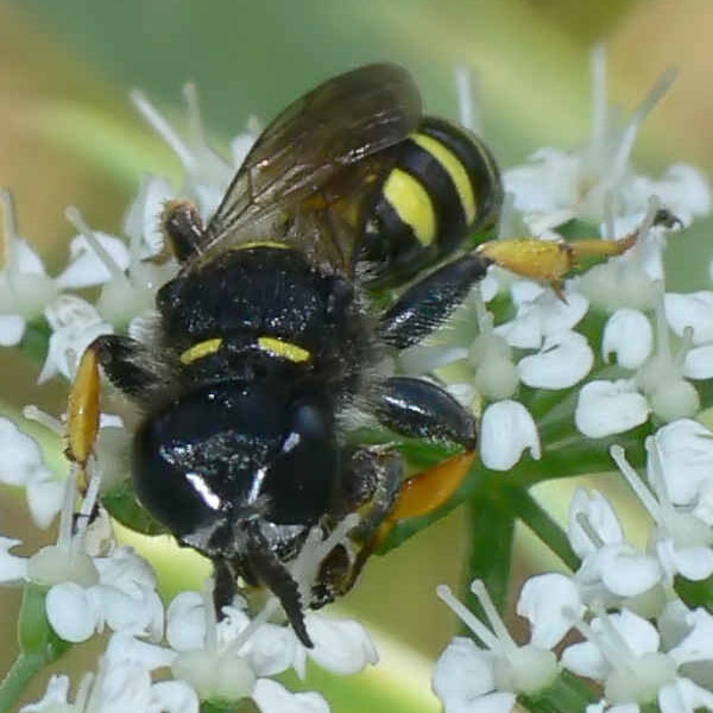 Aculeate Wasps : (Crabronidae) Crabro cribrarius
