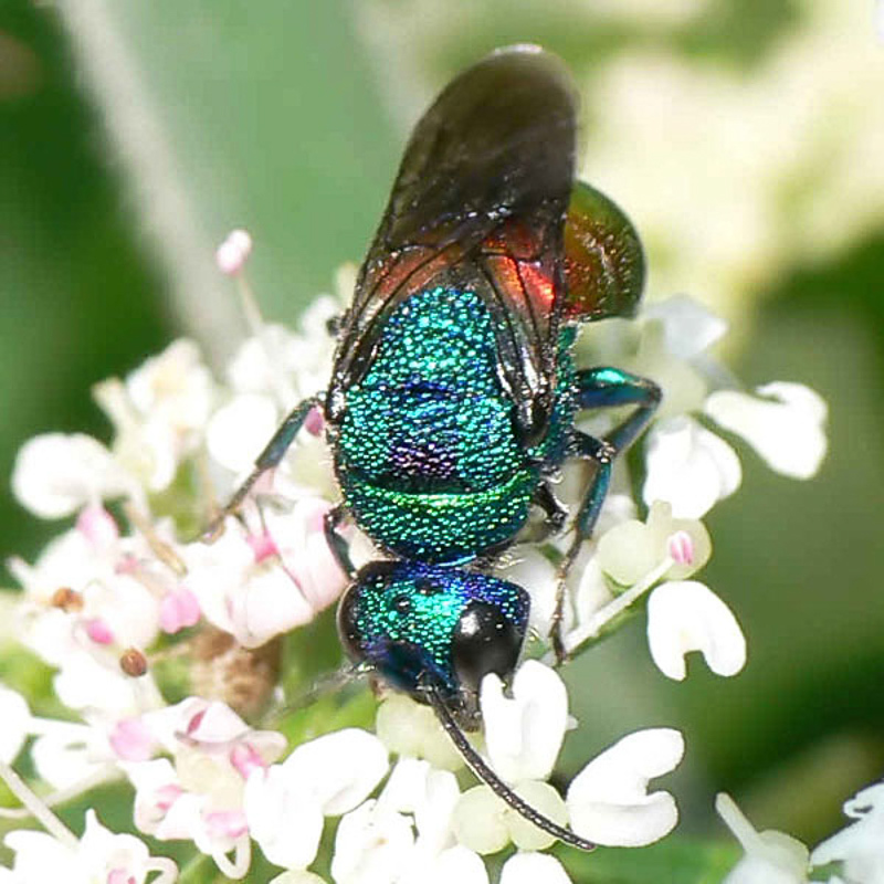 Aculeate Wasps : (Chrysididae) Holopyga generosa