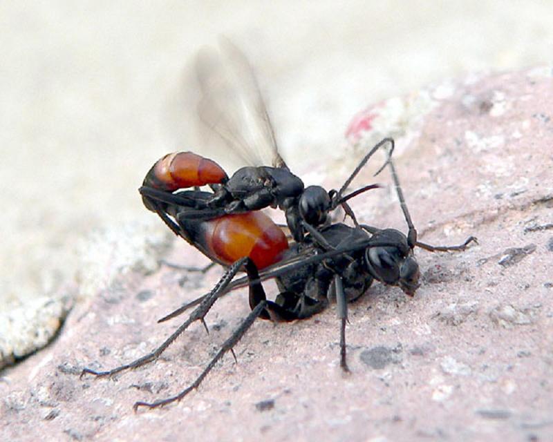 Aculeate Wasps : (Pompilidae) Cryptocheilus notatus
