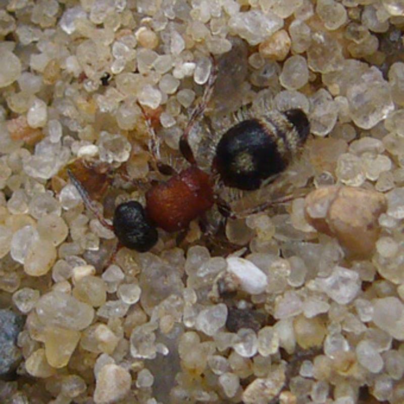 Aculeate Wasps : (Mutillidae) Smicromyrme rufipes