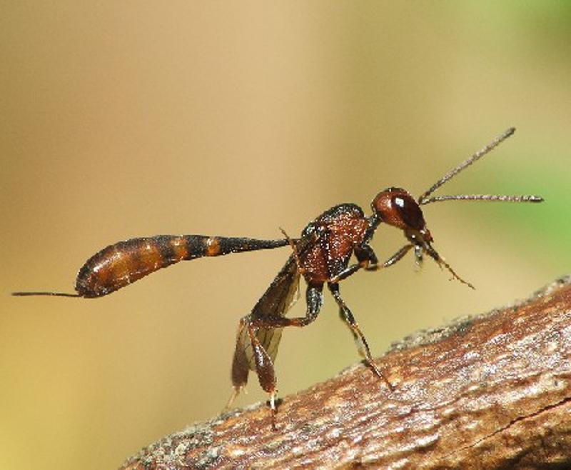 Other parasitoids : (Gasteruptiidae) Gasteruption hastator