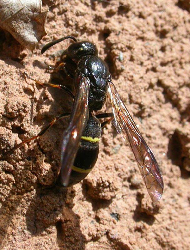 Aculeate Wasps : (Vespidae) Symmorphus allobrogus