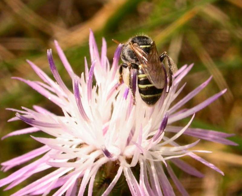 Bees : (Andrenidae) Camptopoeum frontale
