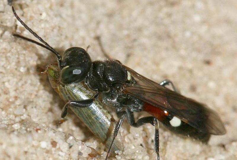 Aculeate Wasps : (Crabronidae) Alysson spinosus