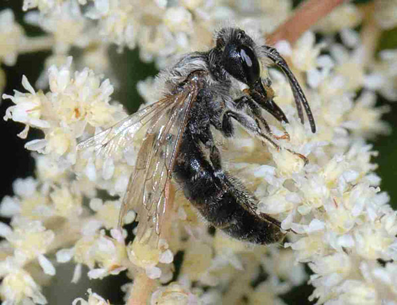 Bees : (Andrenidae) Andrena labialis