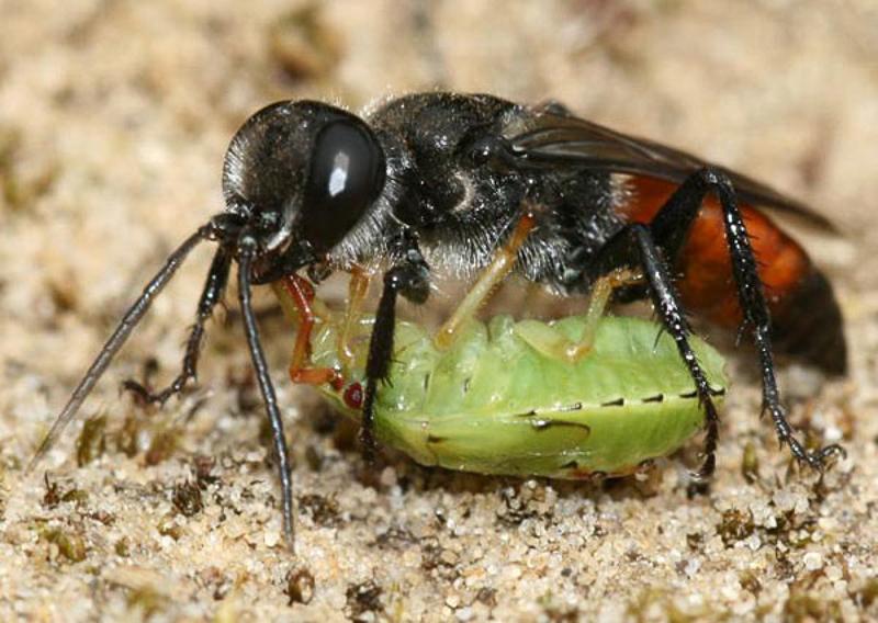 Aculeate Wasps : (Crabronidae) Astata boops