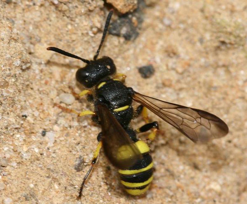 Aculeate Wasps : (Crabronidae) Cerceris quadricincta