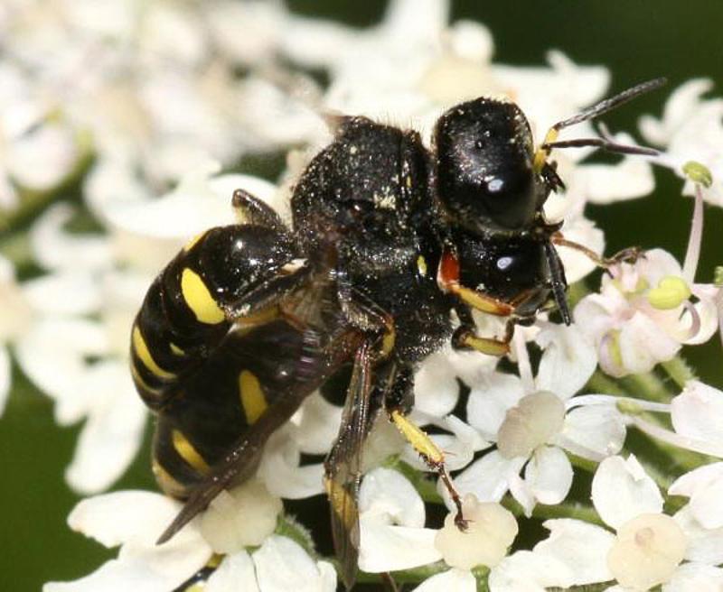 Aculeate Wasps : (Crabronidae) Ectemnius continuus