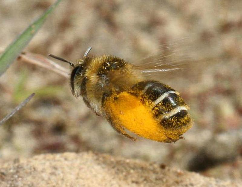 Bees : (Melittidae) Dasypoda hirtipes