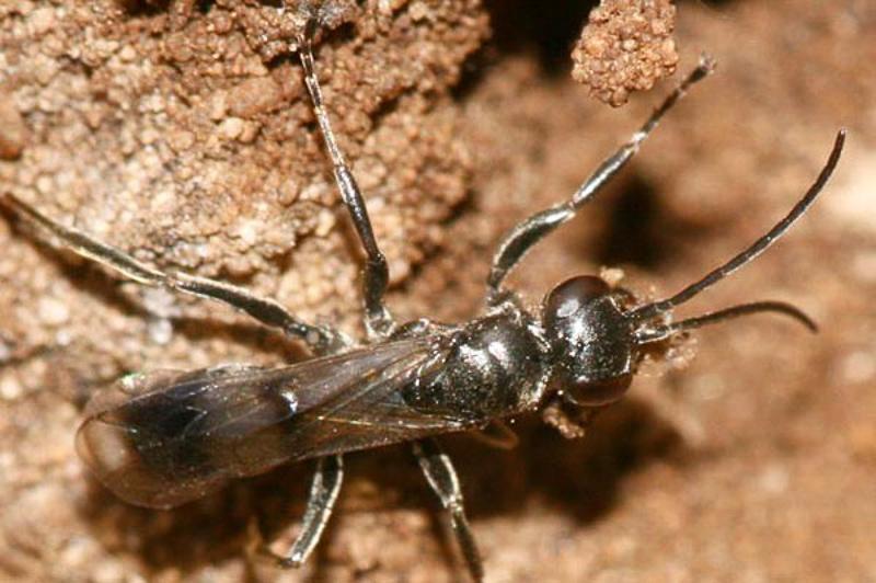 Aculeate Wasps : (Pompilidae) Dipogon variegatus