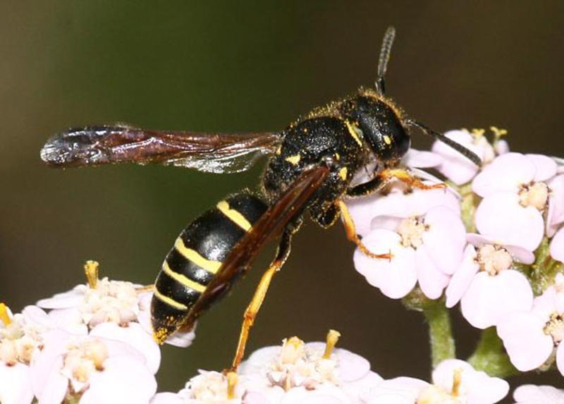 Aculeate Wasps : (Vespidae) Gymnomerus laevipes