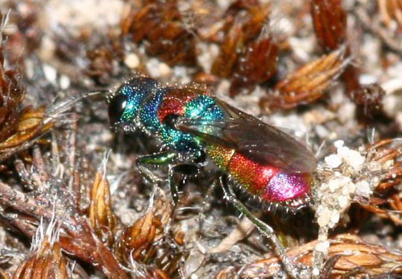 Aculeate Wasps : (Chrysididae) Chrysis illigeri