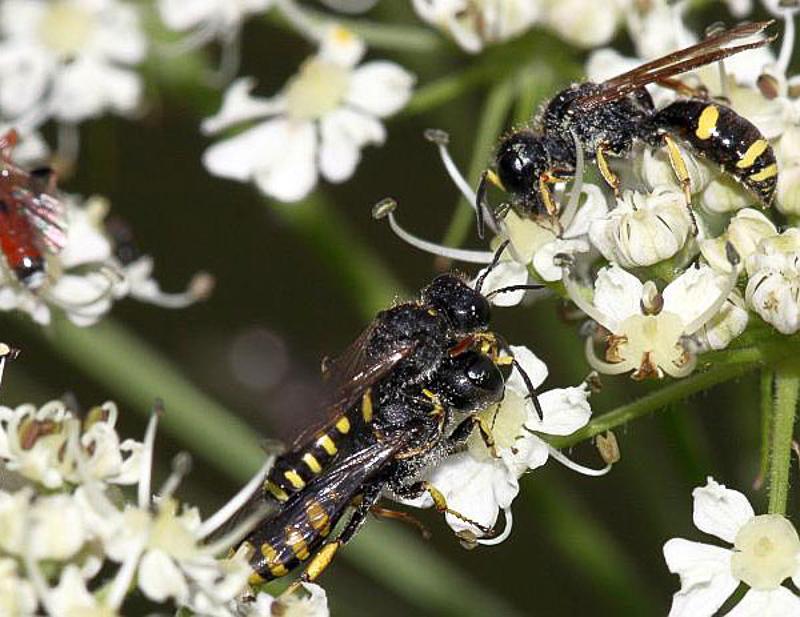 Aculeate Wasps : (Crabronidae) Ectemnius lapidarius