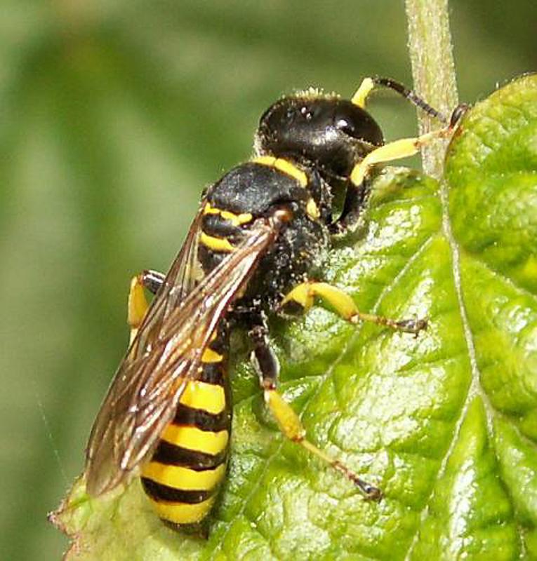 Aculeate Wasps : (Crabronidae) Ectemnius lituratus