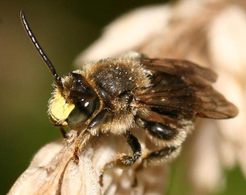 Bees : (Melittidae) Macropis fulvipes